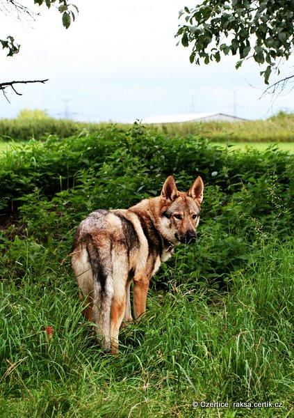 чешский волчак в лесу как волк