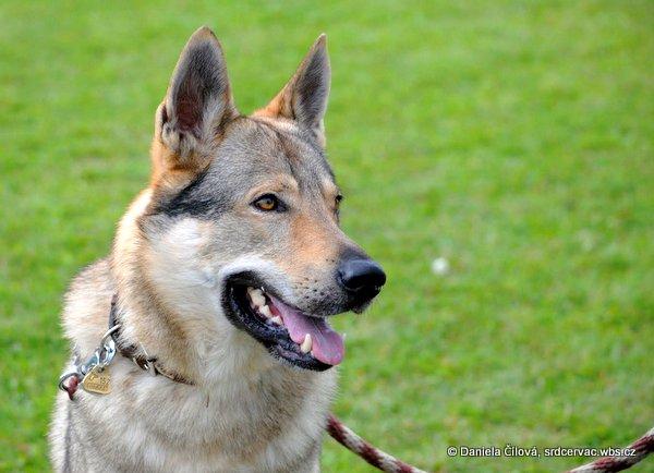 чешский волчак очень красивый