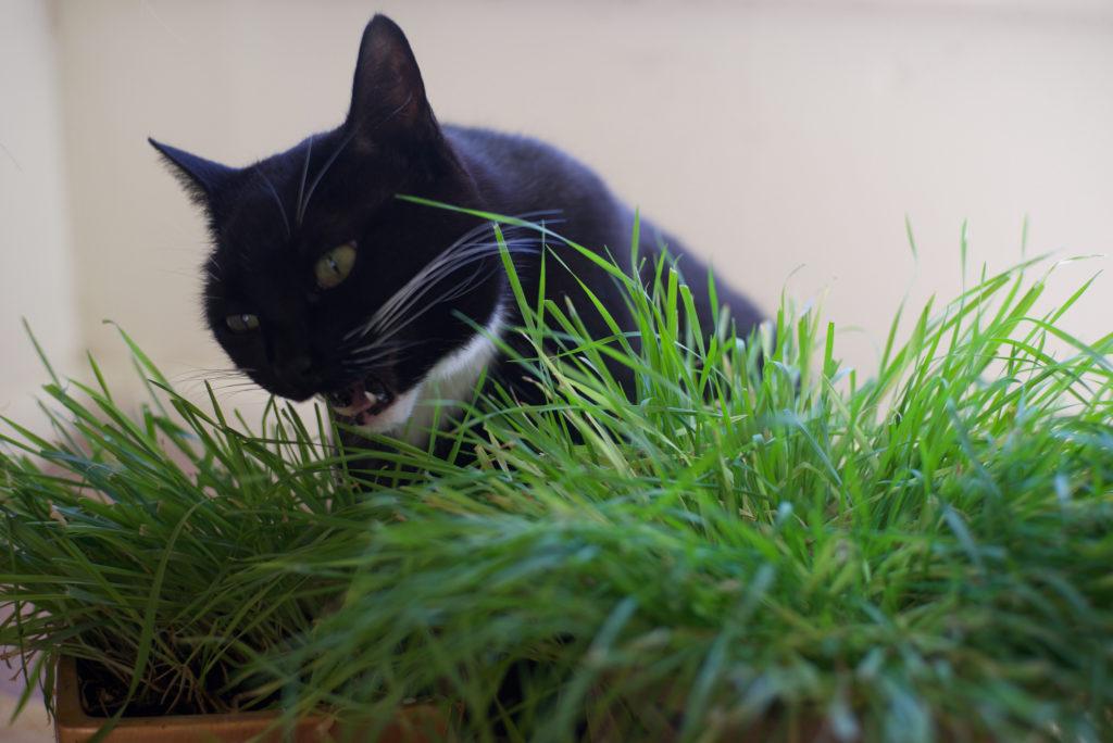 черный кот трава для котов