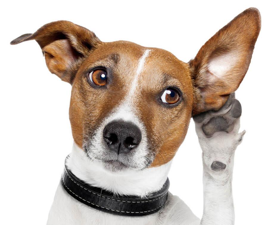 собака хорошо слышит