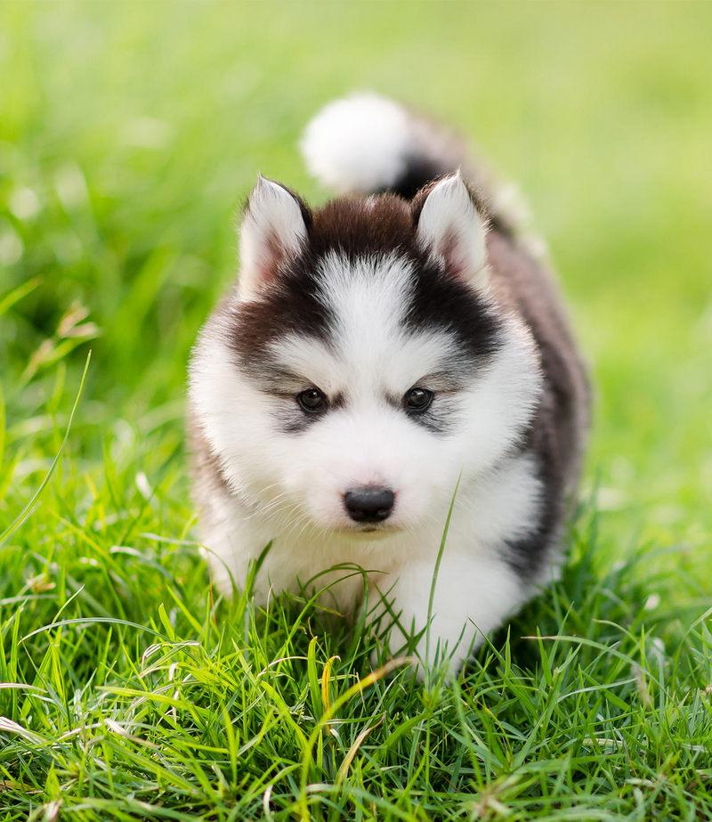 щенок аляскинской хаски