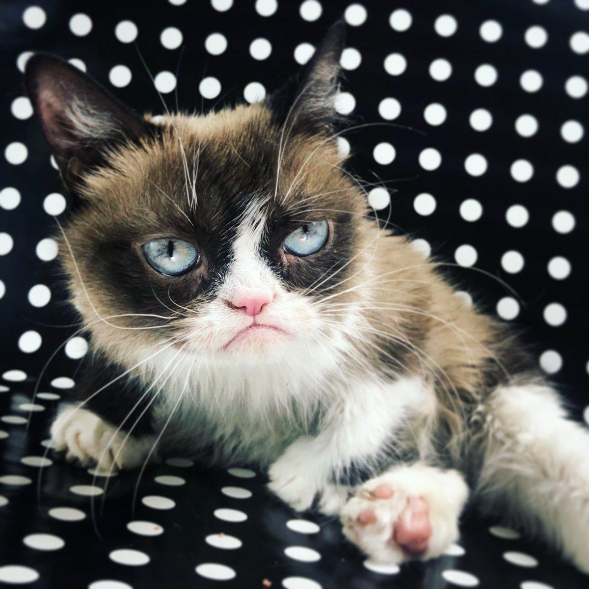 злая кошка Grumpy Cat