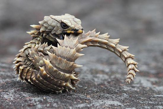Ящерица дракон, гигантский поясохвост , милая ящерица