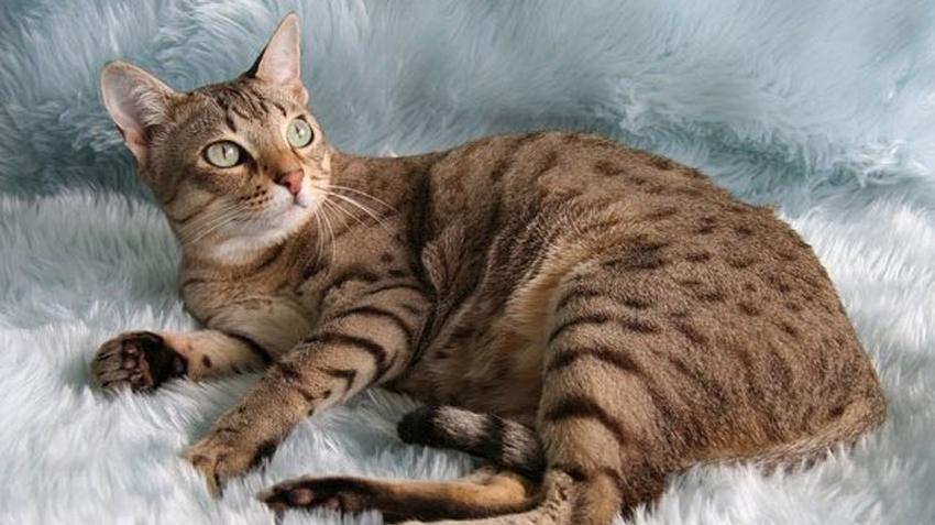 Австралийский мист, австралийская дымчатая кошка