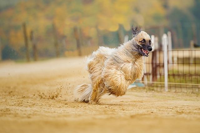 Бакхмуль, афганская аборигенная собака