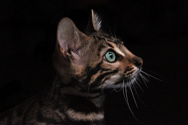 Кошка породы азиатский табби