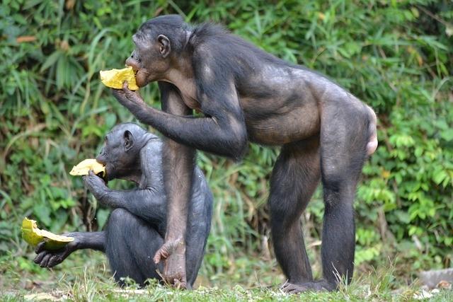 Карликовые шимпанзе бонобо