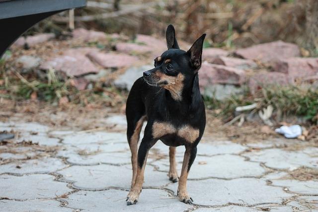 Порода собак тойтерьер
