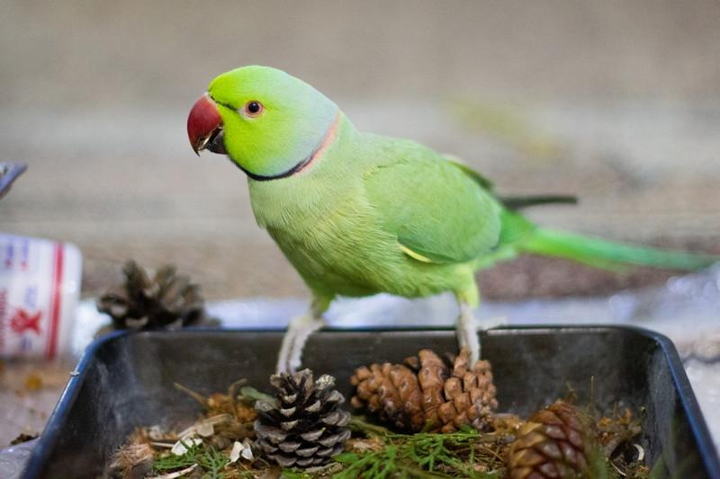 Питание ожерелового попугая