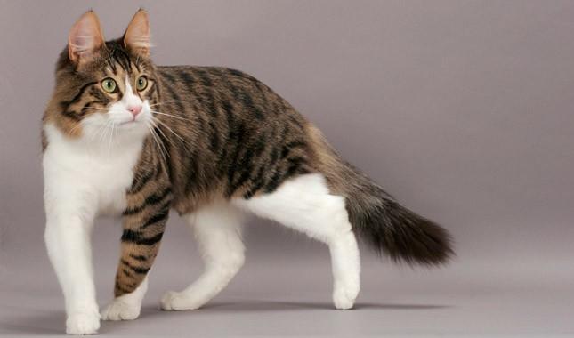 Порода кошек анатолийская