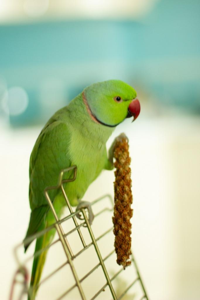 Ожереловый попугай орет. Что делать?