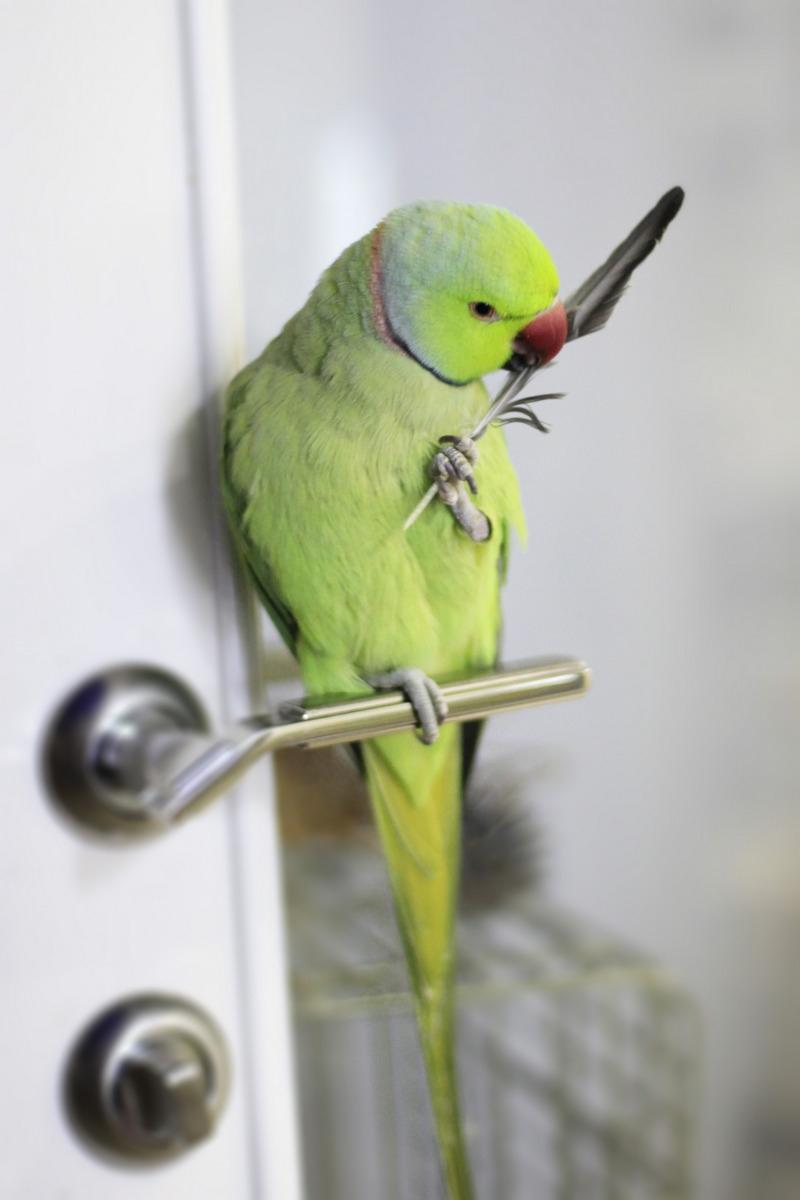 Линька ожерелового попугая. Как это было у нас