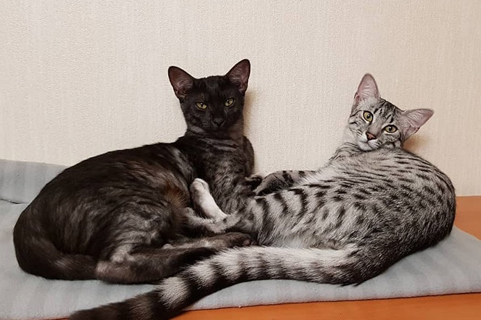 Порода кошек Египетский мау