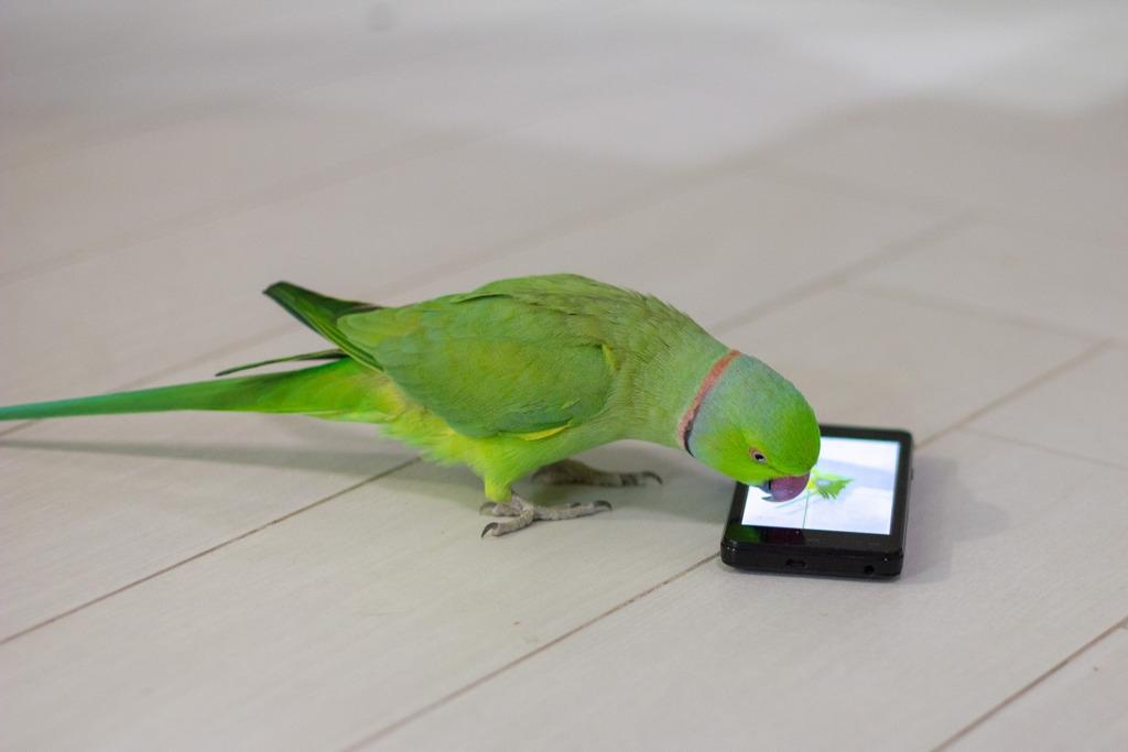 Ожереловый попугай заговорит. Сам! Лайфхак.