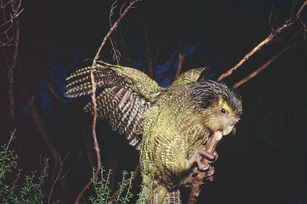 Лицом сова, телом – попугай: интересное о какапо