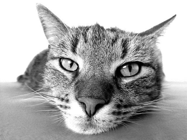 Ушные клещи у кота, что делать