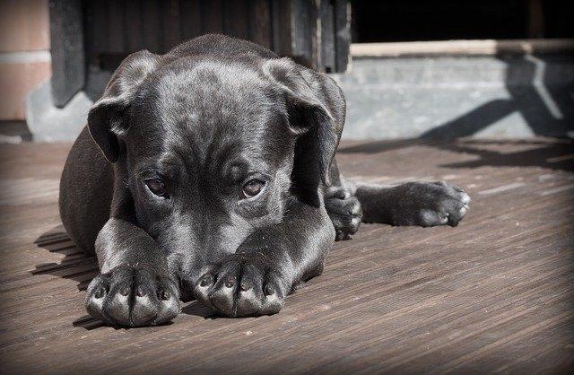 Артериальное давление у собак