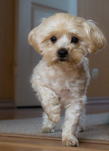 Порода собак Болоньез или итальянская болонка