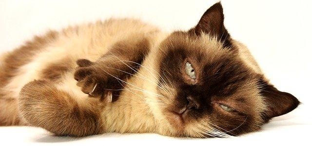 Термические ожоги у кошки, лечение