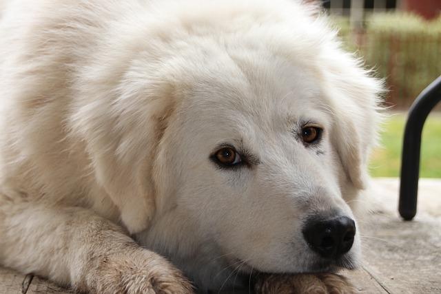 Гемолитическая анемия у собак, симптомы