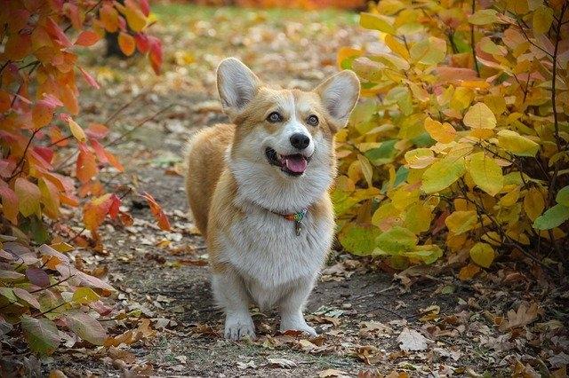 Собаки породы вельш корги пемброк