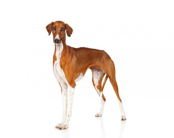 Азавак, порода собак, грациозная и изящная