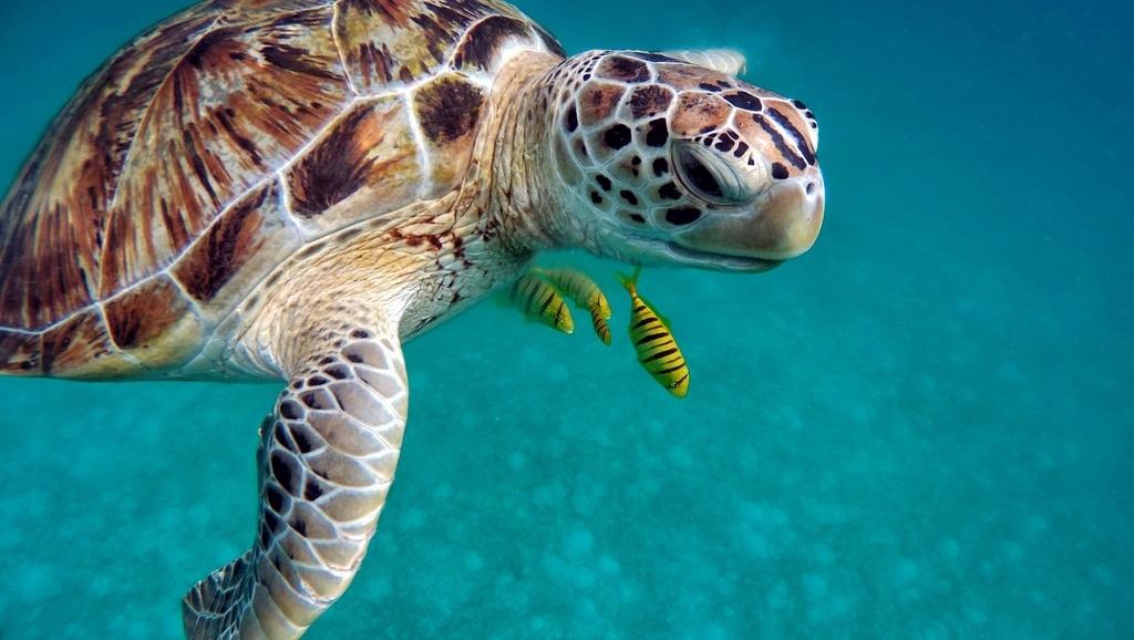Морская красивая черепаха