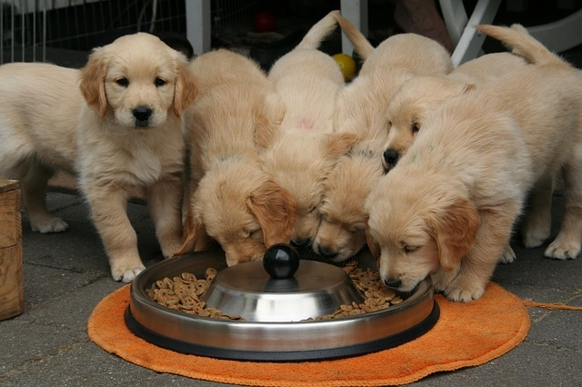 собаки едят из миски