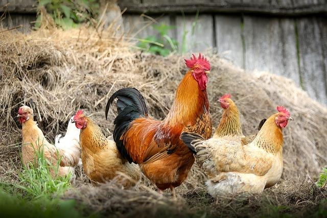петух и курица, домашняя птица