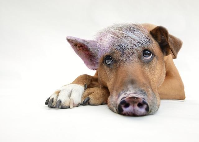 собака-свинья