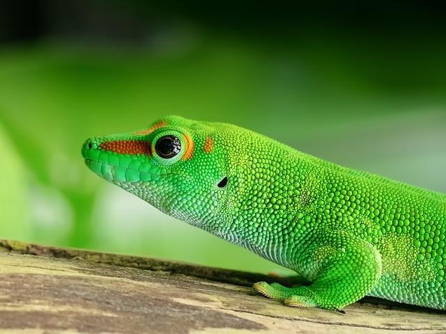 ящерица Мадагаскар