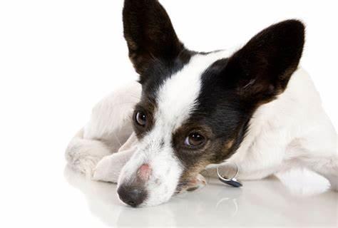 Стригущий лишай у собаки, лечение