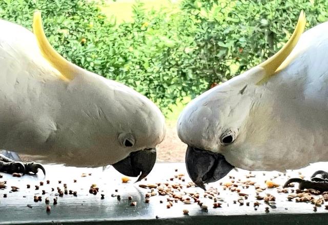 Попугай какаду в домашних условиях, составление рациона, правила ухода за питомцем