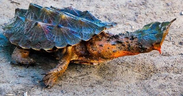 Экзотические домашние питомцы – бахромчатая черепаха из Южной Америки