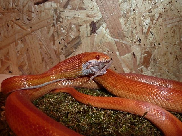 Маисовый полоз - змея для начинающих террариумистов