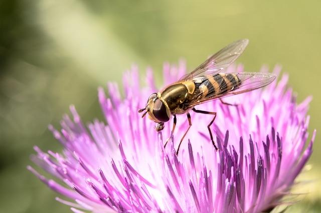 Описание мухи осовидки, внешний вид насекомого, ареал и жизненный цикл