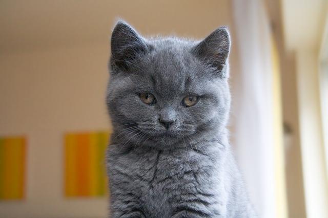 Порода кошек Шартрез, французская натура