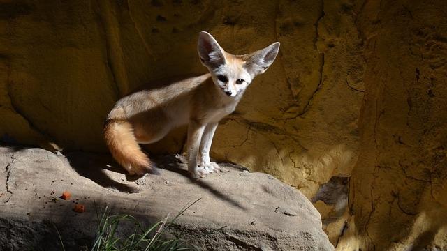 Необычные домашние питомцы: карликовая лисичка-фенек
