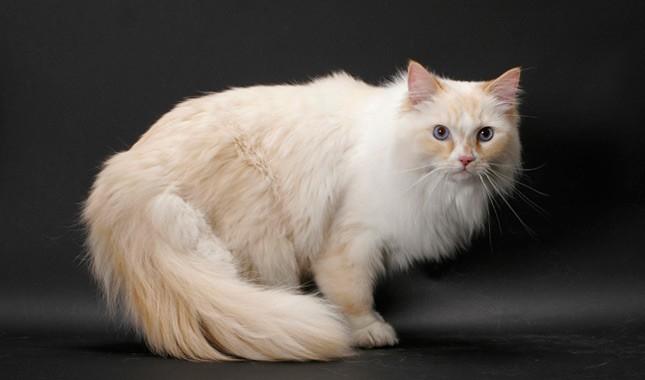 Порода кошек Рагамаффин, покладистый характер и компактный размер