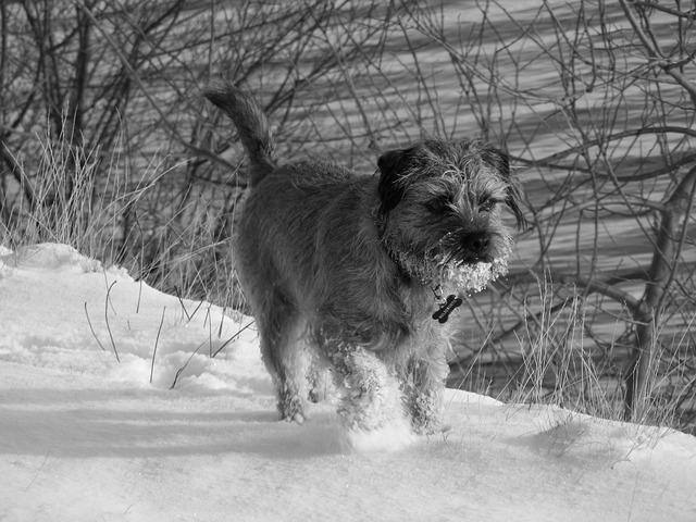 Порода собак Бордер-терьер