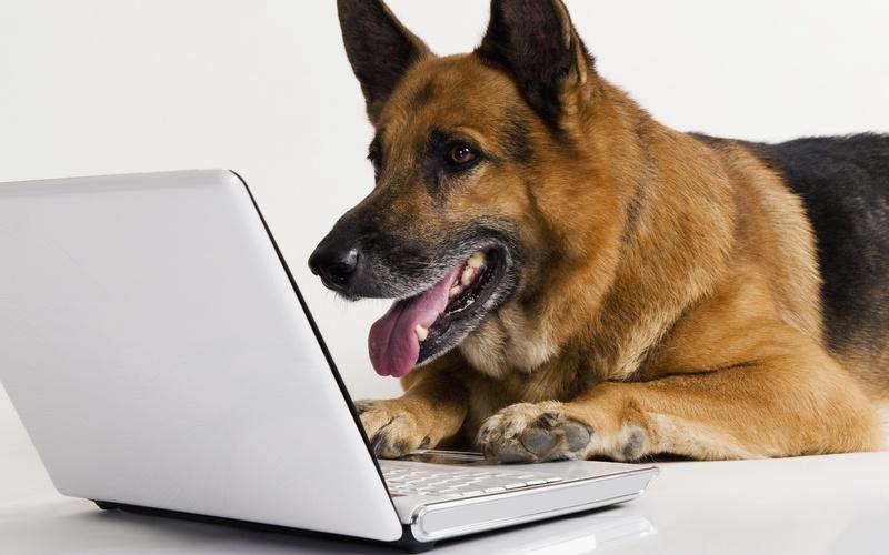 Овчарка смотрит в ноутбуке форум