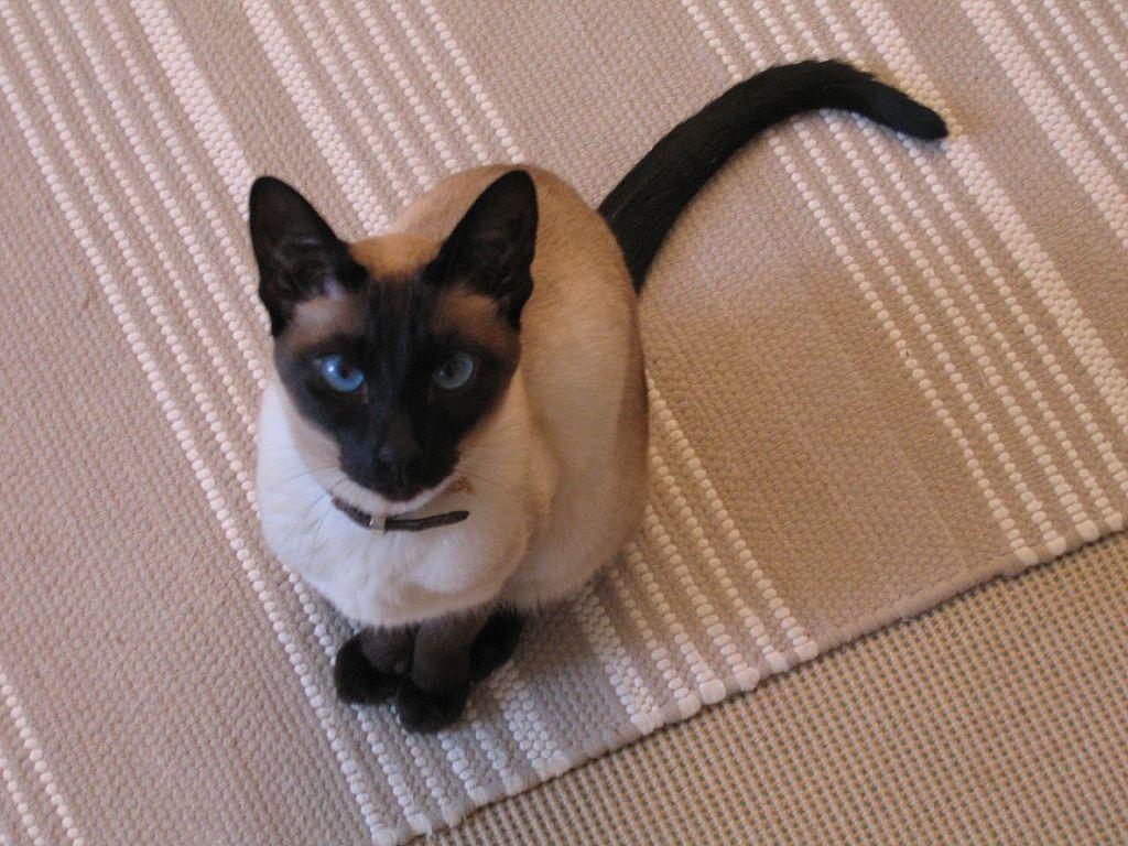 Сиамская кошка сидит и смотрит в глаза