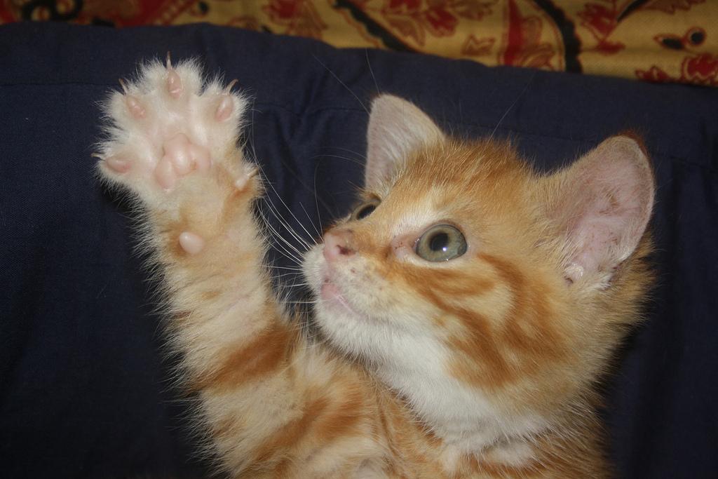 Рыжий котик дает лапу дрессируем