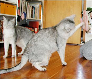 Кот дает лапу и выполняет другие команды