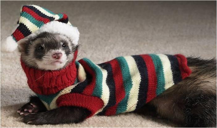 Хорек в шапочке и свитере идет гулять