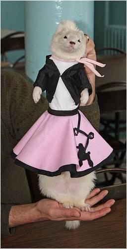 Хорек в бальном платье