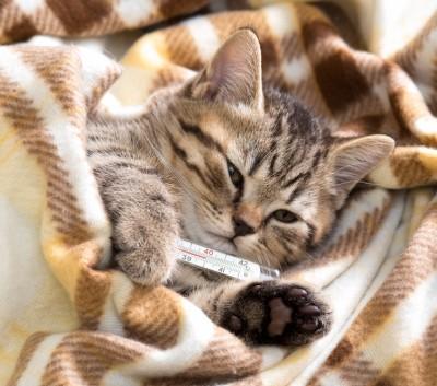 кошка и термометр