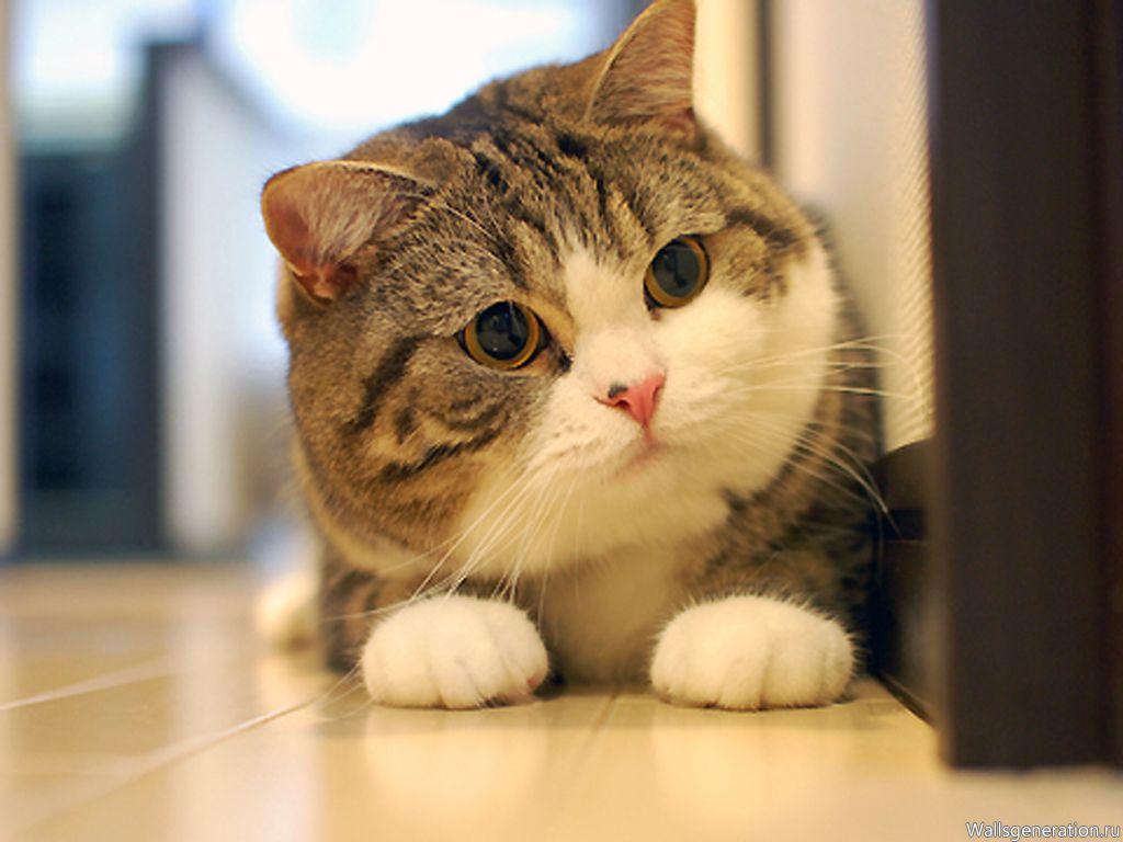 Красавица кошка Мару