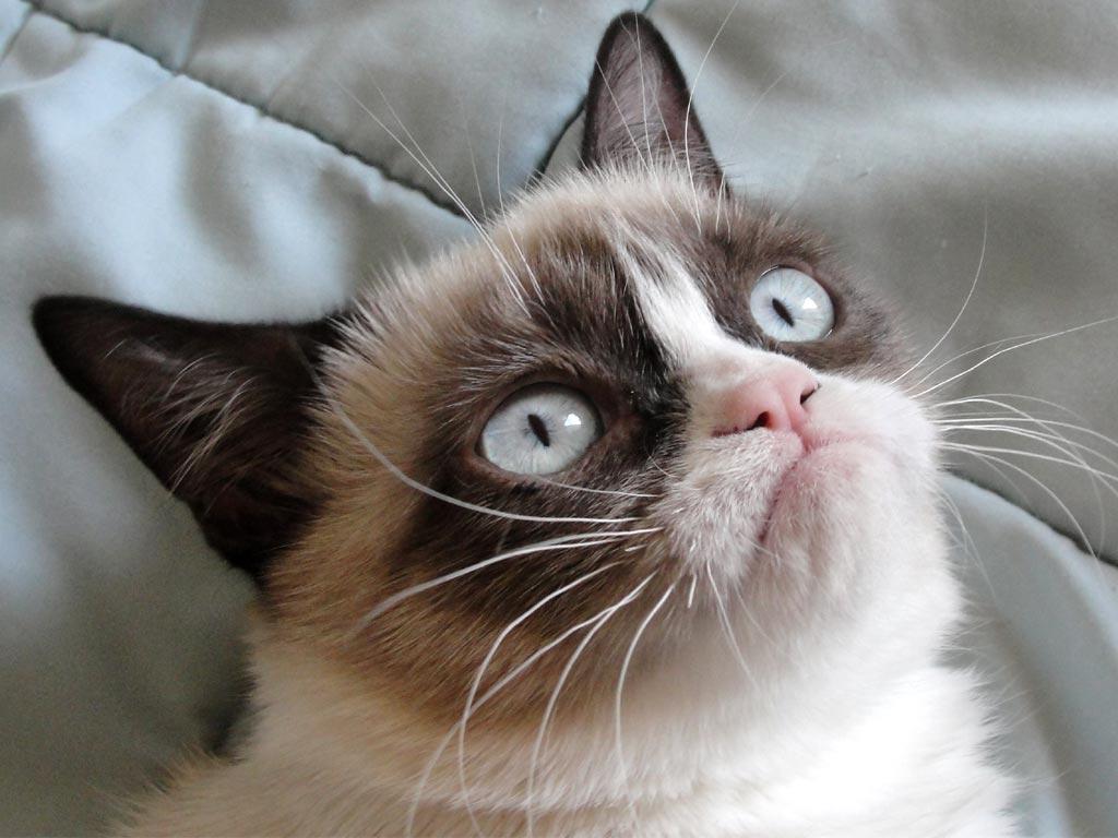 Сердитая кошка Соус Тардар