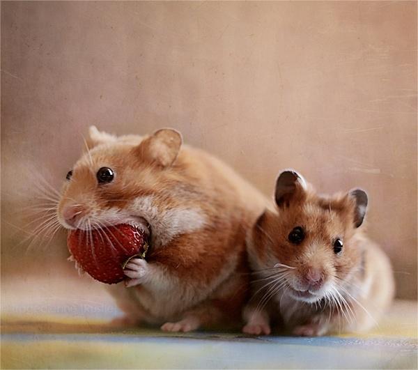 Хомяки кушают клубнику